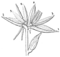 PSM V68 D062 Staminate flower of the corn.png