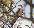 Pachycoccyx audeberti, Gorongosa, Sofala, Birding Weto, a.jpg