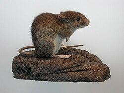 Pacific rat.jpg