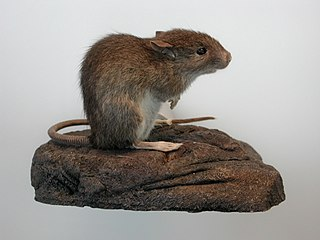 Polynesian rat species of mammal
