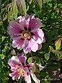 Paeonia suffruticosa Andr.(Paeonia arborea Donn.).jpg