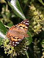 Painted Lady (29914893856).jpg