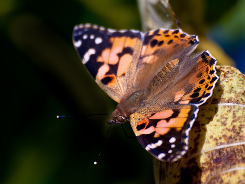 Painted Lady Butterfly at Alligator Bay, Beauvoir, France