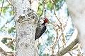 Pale-billed Woodpecker (Campephilus guatemalensis) (3324474176).jpg