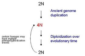 gene duplication examples