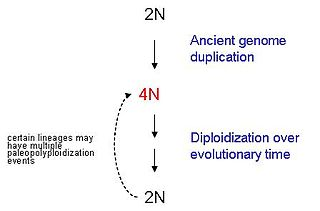 Paleopolyploidy result of genome duplications which occurred at least several million years ago