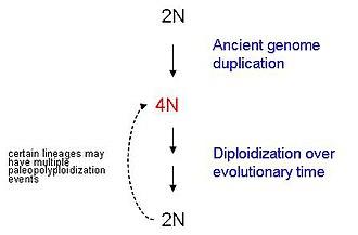 Paleopolyploidy - Image: Paleopolyploidy