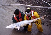 Pallid Sturgeon released 1999.jpg