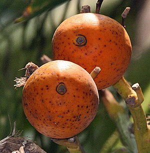 Supari Palm or Betelnut Areca catechu.