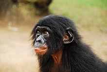 Un cucciolo presso il santuario di Lola ya Bonobo
