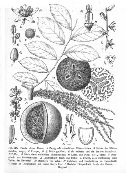 Pandaceae