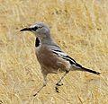 Pander's Ground Jay (Podoces panderi) (8079418356) (cropped).jpg