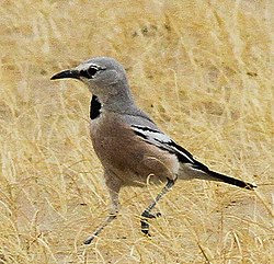 Pander's Ground Jay (Podoces panderi) (8079418356) (cropped).jpg