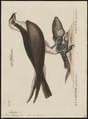 Pandion carolinensis - 1700-1880 - Print - Iconographia Zoologica - Special Collections University of Amsterdam - UBA01 IZ18100281.tif