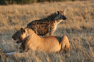 Interspecific competition - Subadult male lion and spotted hyena in the Masai Mara. The two species share the same ecological niche, and are thus in competition with each other.