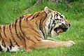 Panthera tigris at the Bronx Zoo 005.jpg