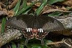 Papilio polytes-Thekkady-2016-12-03-001.jpg