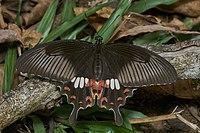 Common Mormon (Papilio polytes)
