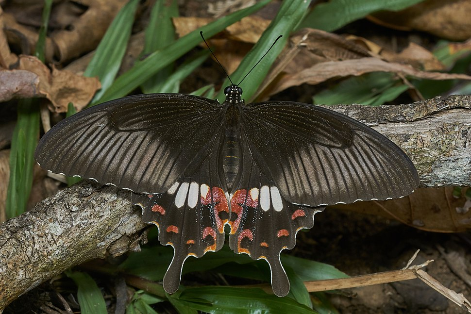 Papilio polytes-Thekkady-2016-12-03-001