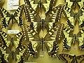 Papiliomachaonforma.JPG