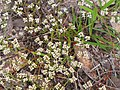 Paronychia rugelii Withlacoochee.jpg