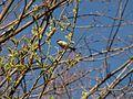 Parus palustris - siva senica.jpg