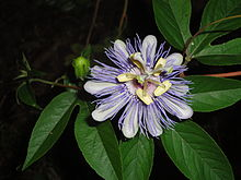 Passiflora incarnata flower and bud.jpg