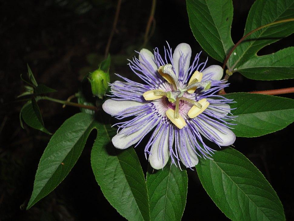 Passiflora incarnata flower and bud