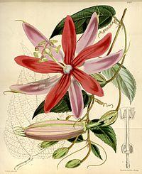 Passiflora insignis Bot. Mag. ser. 3, 29(348), tab. 6069. 1893