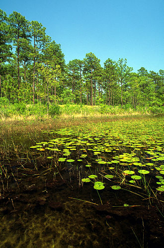 Croatan National Forest - View from Patsy Pond Nature Trail, in the Croatan National Forest.