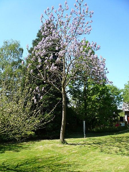 paulownia en fleurs