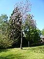Paulownia tomentosa.jpg