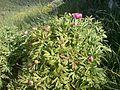Peònia-Paoenia officinalis.JPG