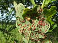Pea galls on oak - geograph.org.uk - 1449701.jpg