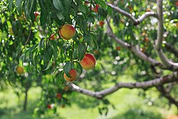 Peaches at Applecrest Farm Orchards - 20108457519.jpg