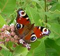 Peacock. Inachis io - Flickr - gailhampshire (2).jpg