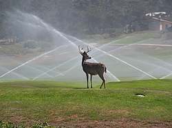 Pebble Beach Deer.jpg