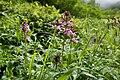 Pedicularis chamissonis var. japonica 07.jpg