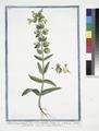 Pedicularis pratensis lutea, vel Cristagallis - Cristagalli foemina - Pediculaire. (Lousewort) (NYPL b14444147-1125138).tiff
