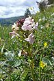 Pedicularis rostratocapitata 070707.jpg