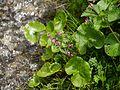 Pedicularis siphonantha (7832467170).jpg