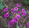 Pelargonium echinatum - Kew Gardens.jpg