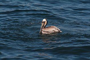 Pelican 4925.jpg