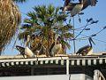 Pelicanos de arica.jpg