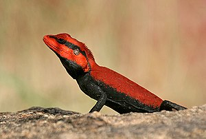 Draconinae - peninsular rock agama (Psammophilus dorsalis) - male breeding coloration in Keesara, Rangareddy District, Andhra Pradesh, India