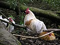 Perching hen, Knockmoyle - geograph.org.uk - 1507574.jpg