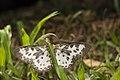 Percnia longitermen (35504944572).jpg