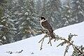 Perisoreus canadensis -British Columbia -Canada-9.jpg
