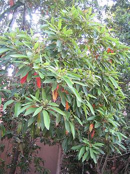Persea indica (Nanosanchez)