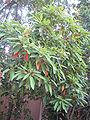 Persea indica (Nanosanchez).jpg